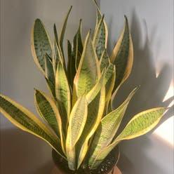 Sansevieria 'Lauren' plant
