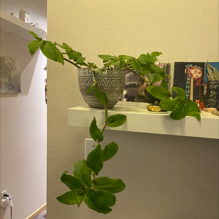 Photo of the plant species Dragon's Tail by Vx named Belindo on Greg, the plant care app