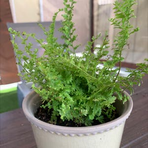 Cotton Candy Fern plant photo by Ngissell named Amelia on Greg, the plant care app.