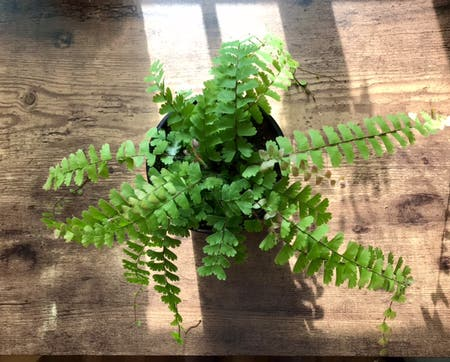 Photo of the plant species Adiantum Caudatum by Nataleaf named Rom on Greg, the plant care app