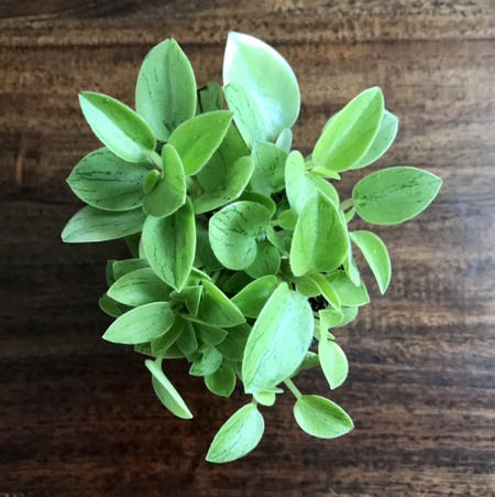 Photo of the plant species Pixie Peperomia by Nataleaf named Pixie on Greg, the plant care app