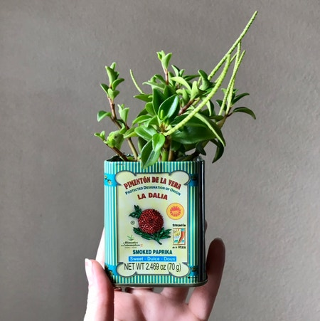 Photo of the plant species Peperomia trinervula by Nataleaf named Paprika on Greg, the plant care app