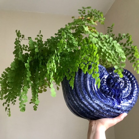 Photo of the plant species Maidenhair fern by Nataleaf named Ava on Greg, the plant care app