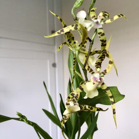 Photo of the plant species Spider Orchid by Nataleaf named Skulltula on Greg, the plant care app