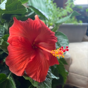 Chinese Hibiscus plant photo by Collyflower named Archimedes on Greg, the plant care app.