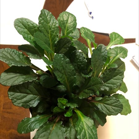 Photo of the plant species Blue bugle by Robert named Your plant on Greg, the plant care app