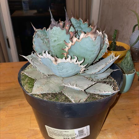 Photo of the plant species Rancho Tambor Agave by Kalina named maiev on Greg, the plant care app