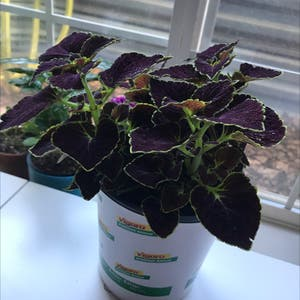 Coleus scutellarioides plant photo by Graygardens named Shaggy on Greg, the plant care app.