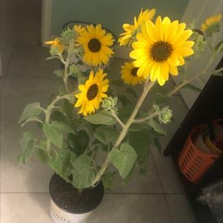 Common Sunflower plant in South Jordan, Utah