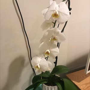 Rating of the plant Phalaenopsis orchid named Andy Gibson by Graygardens on Greg, the plant care app