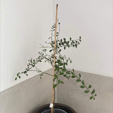 Photo of the plant species Caviar Lime by Andanin named Gulalung (Emma) on Greg, the plant care app
