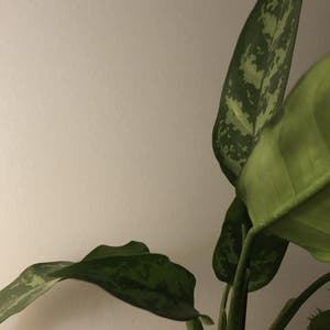 Rating of the plant Chinese Evergreen named Penelopia by Chloe on Greg, the plant care app