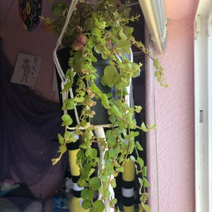 Creeping Jenny plant photo by Loathcatpaws named Orlando Bloom on Greg, the plant care app.