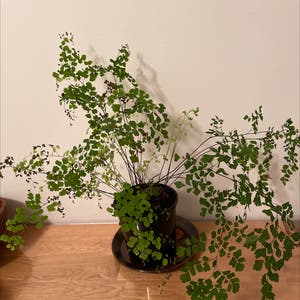 Maidenhair fern plant photo by Emily named Maiden on Greg, the plant care app.