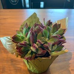 Plush Plant plant