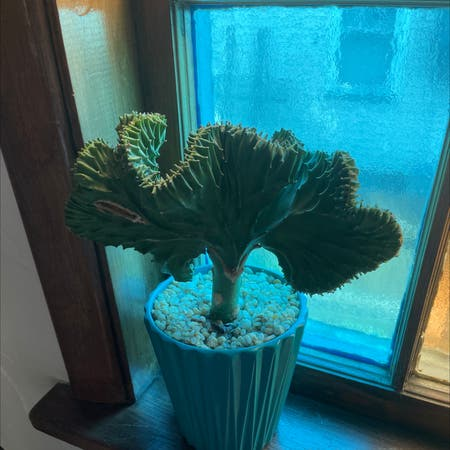Photo of the plant species Crested Elkhorn by Rachelplant named Planty on Greg, the plant care app