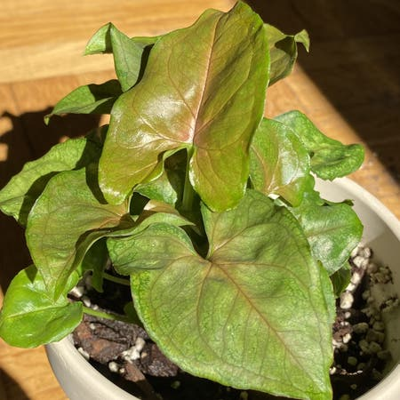 Photo of the plant species Syngonium 'Candy' by Gaida-erica named Prince on Greg, the plant care app