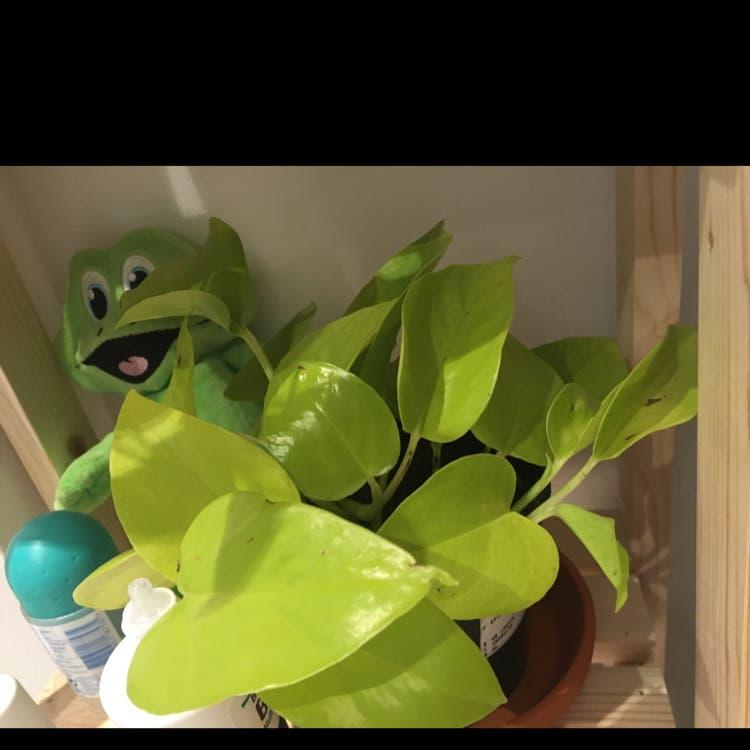 Neon Pothos plant