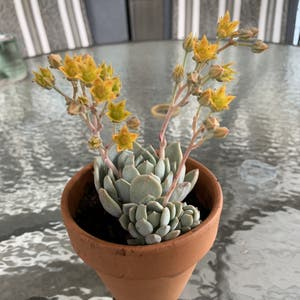 Blue Echeveria plant photo by Milesfinch named Aristotle on Greg, the plant care app.