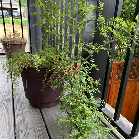 Photo of the plant species Vaccinium Ovatum by Milesfinch named Huckle on Greg, the plant care app