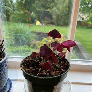 Purple Shamrocks plant photo by Shannon named Oxalis Triangularis on Greg, the plant care app.