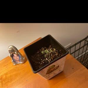 Catnip plant photo by Teddyliveshere named Dying Catnip on Greg, the plant care app.