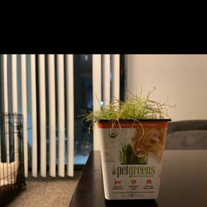 Wheatgrass plant photo by Teddyliveshere named Cat Weed on Greg, the plant care app.