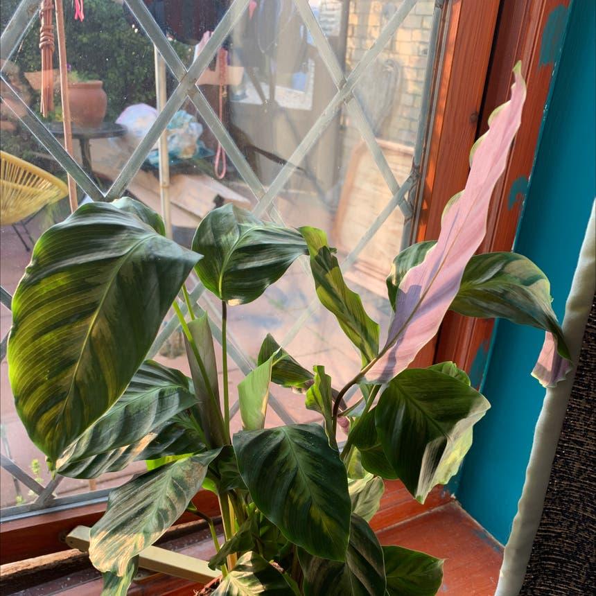 Rose Calathea plant
