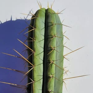 Bolivian Torch Cactus plant photo by Goofygooberdeathsquad6669 named Trichocereus Bridgessii (BlackFly) on Greg, the plant care app.