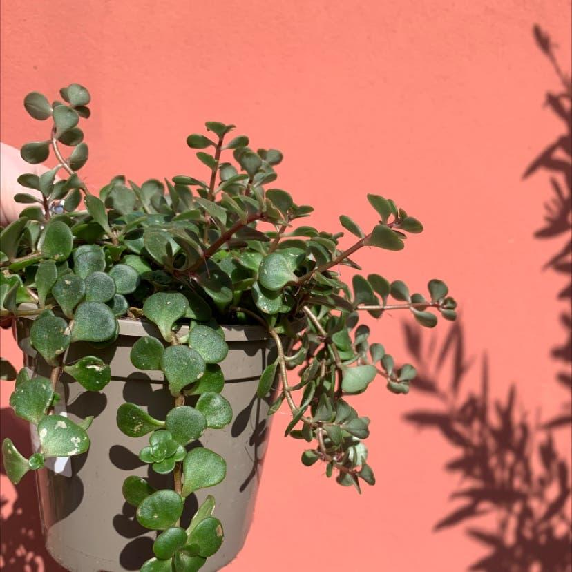 Elephant Bush plant