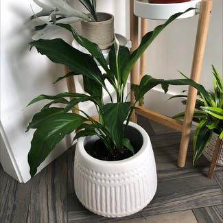 Peace Lily plant in Portland, Oregon