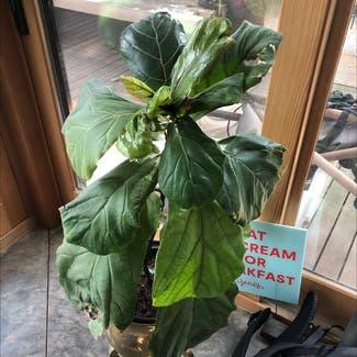 Fiddle Leaf Fig plant in Portland, Oregon