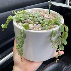 String of Needles plant