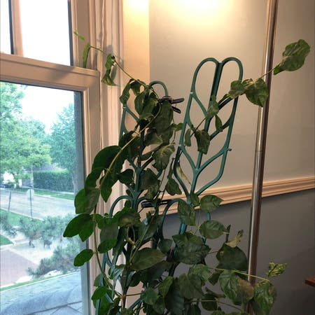 Photo of the plant species Jasminum Sambac by Drmom named Isabella on Greg, the plant care app
