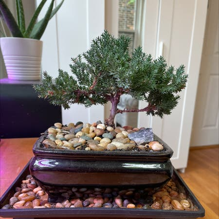 Photo of the plant species Blue Star Juniper by Stu named Jay on Greg, the plant care app