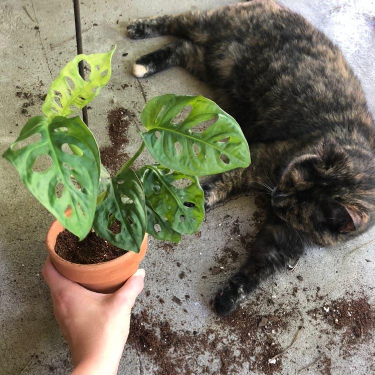 Window Leaf plant