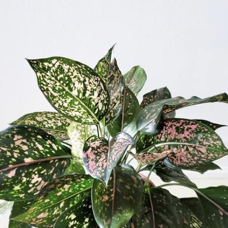 Photo of the plant species Pink Dalmatian Aglaonema by Alexandram named Pink Dalmation on Greg, the plant care app