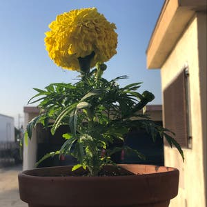 African Marigold plant photo by Pedroza63 named Marigold on Greg, the plant care app.
