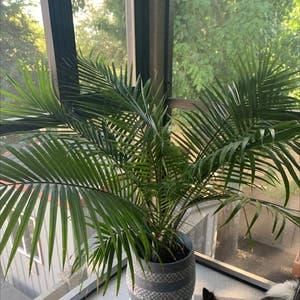Majesty Palm plant photo by Medhatter named Potter on Greg, the plant care app.