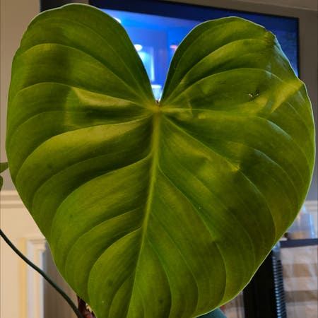 Photo of the plant species Philodendron nangaritense by Ejsilva3 named Nangaritense on Greg, the plant care app