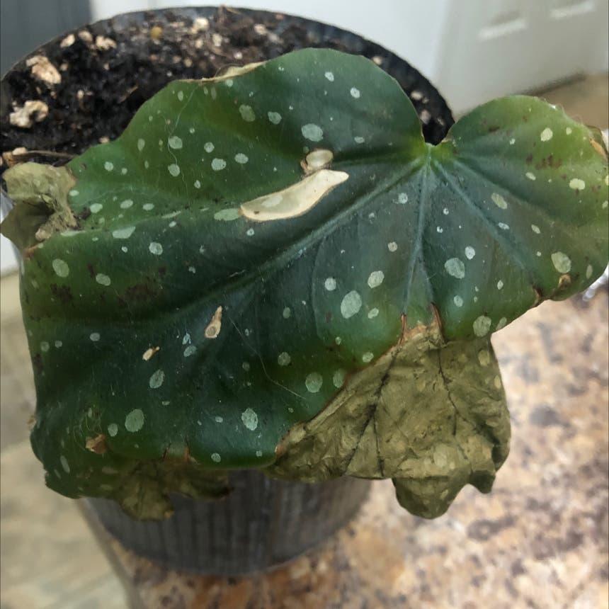 Polka Dot Begonia plant in Ridgefield, Washington