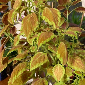Coleus scutellarioides plant photo by Javabean4 named Calvin on Greg, the plant care app.