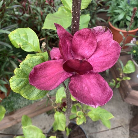 Photo of the plant species Chinese magnolia by Blackcatthief named Magnolia on Greg, the plant care app