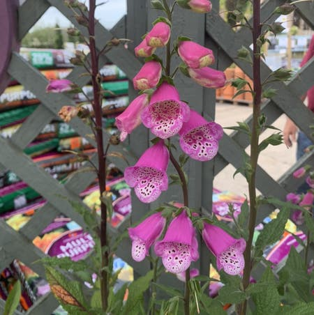 Photo of the plant species Digitalis Purpurea by Blackcatthief named Dianthus on Greg, the plant care app