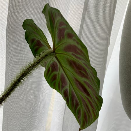 Photo of the plant species Philodendron verrucosum by Simonestroud named Hairy McClarey on Greg, the plant care app