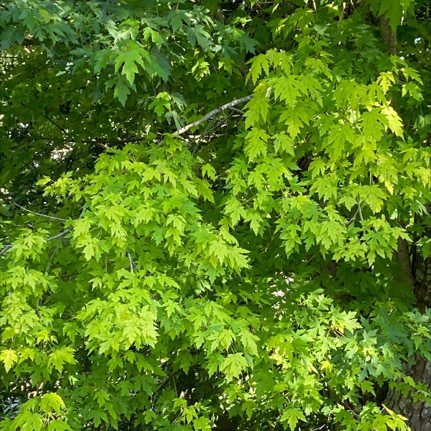 Silver maple plant in Schertz, Texas