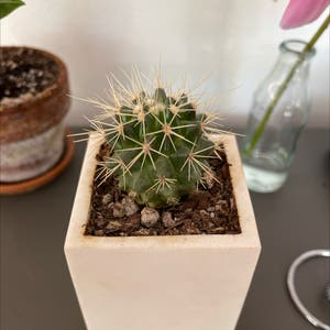Mammillaria melanocentra plant photo by Jacob named Your plant on Greg, the plant care app.
