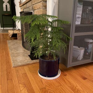Norfolk Island Pine plant photo by Jacob named Kringle on Greg, the plant care app.