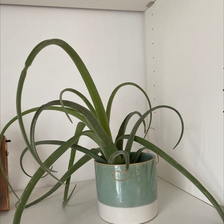 Photo of the plant species Giant Airplant by Malar87 named Sasha on Greg, the plant care app