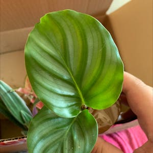 Round-leaf Calathea plant photo by Jade31 named Remington on Greg, the plant care app.